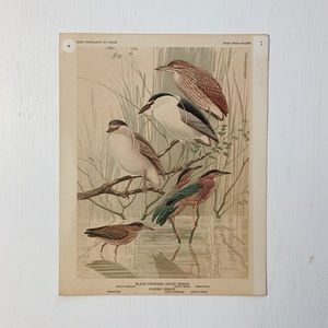 Vintage • Art Black-Crowned Night Heron